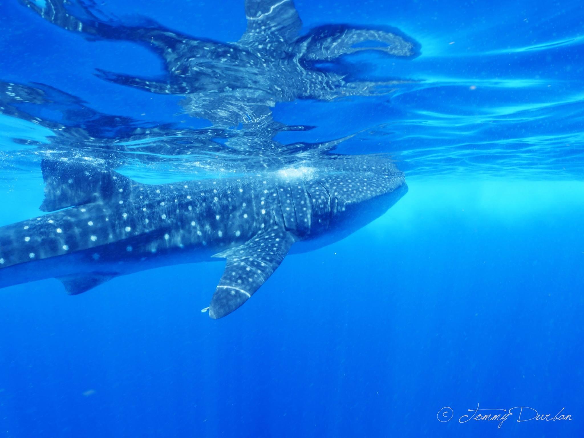 The whale shark